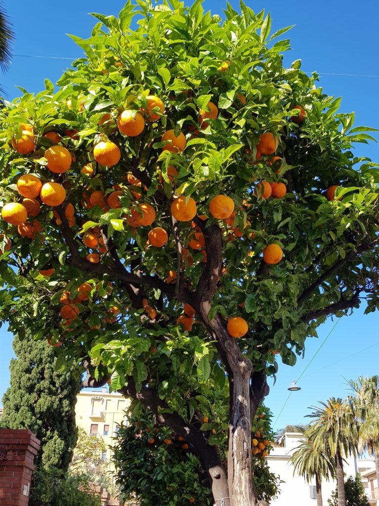 sinaasappelbomen Alassio, Italië